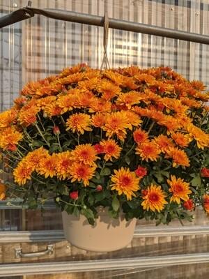 Mums Large Fireglow Orange 12