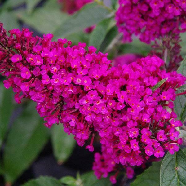 Butterfly Bush Buddleia davidii Buzz™ Hot Raspberry  1-Gallon