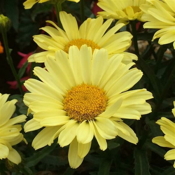 Shasta Daisy Leucanthemum x superbum Real Sunbeam 1-Gallon