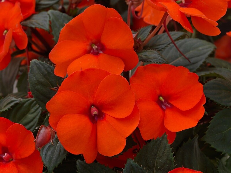 SunPatiens® Hot Coral (color bowl)