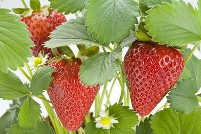 Everbearing Strawberry Plant 4