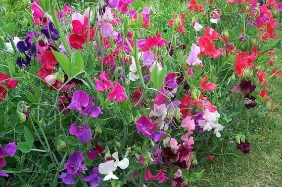 "Sweet Pea plant 4"" pot"