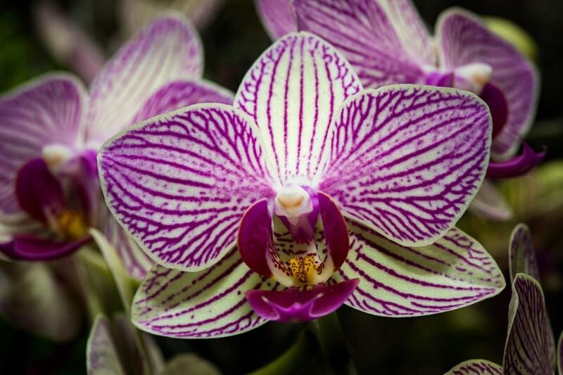 Phalaenopsis (whole)