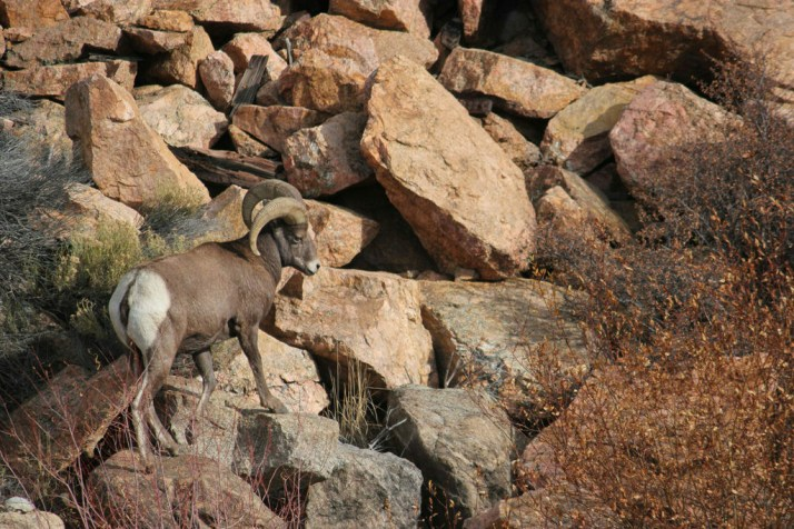 Big horn on the rocks