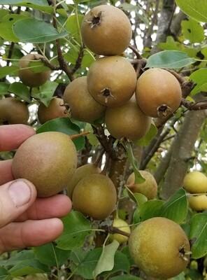 Barnet Perry Pear