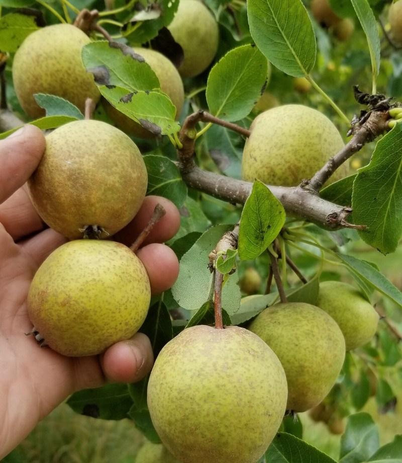 Yellow Huffcap Pear