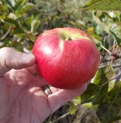 ​Bramley's Seedling