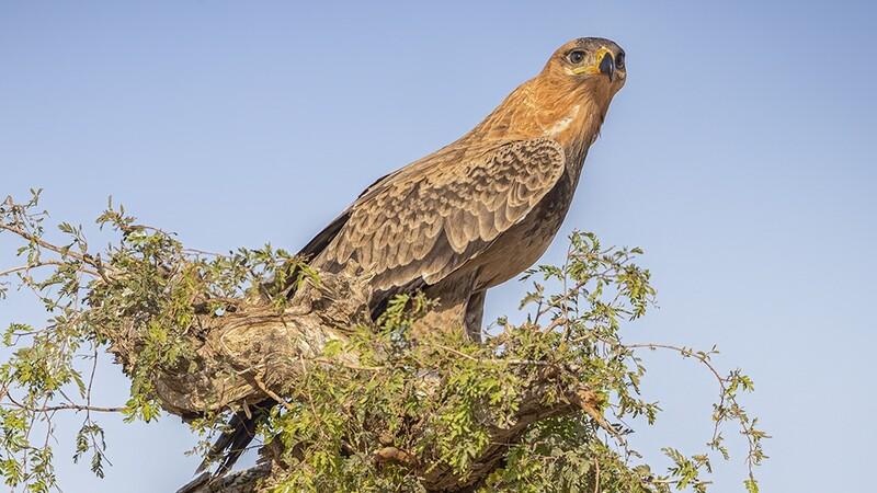 Tawny Eagle 0514