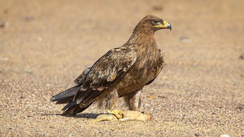 Tawny Eagle with Spiny-tailed Lizard Prey 8994