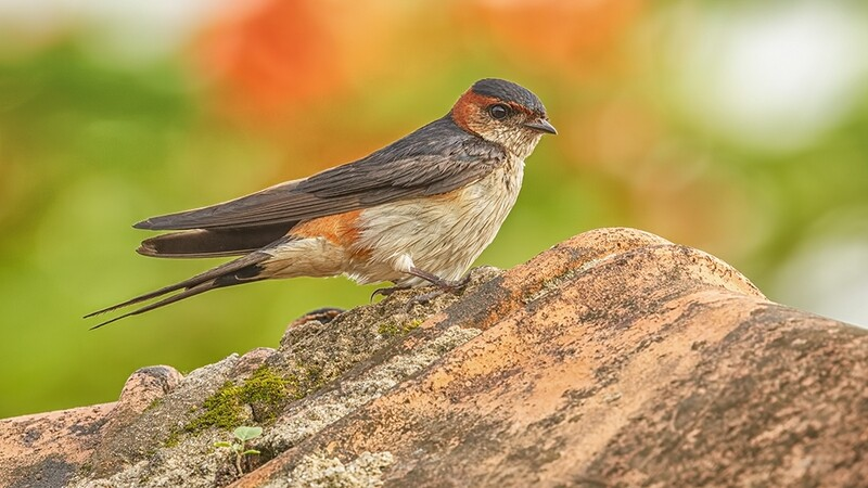 Red-rumped Swallow 5288