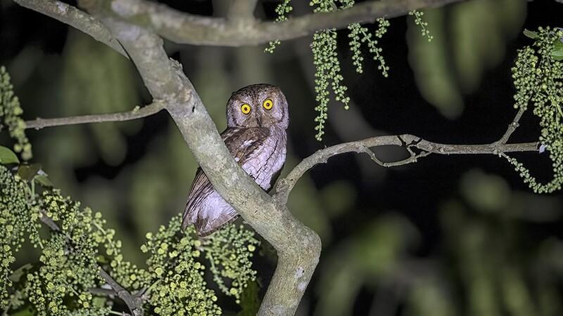 Oriental Scops Owl 9745