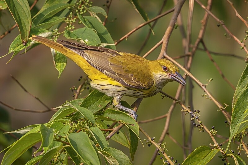 Indian Golden Oriole 0229