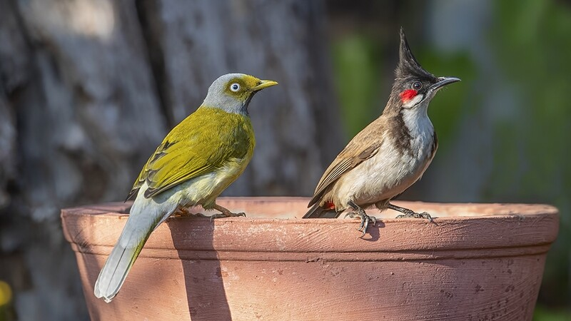 Grey-headed and Red-whiskered Bulbuls 3648