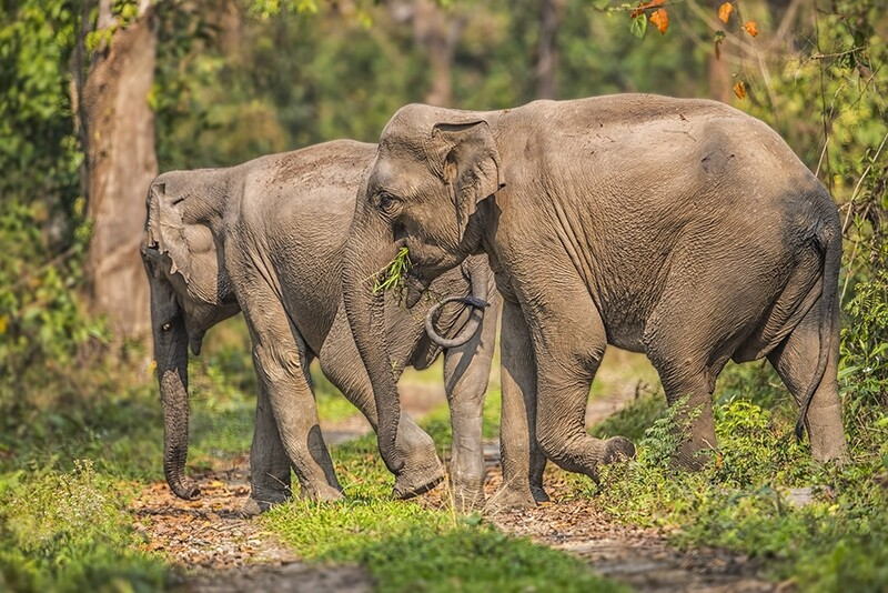 Indian Elephant 2441