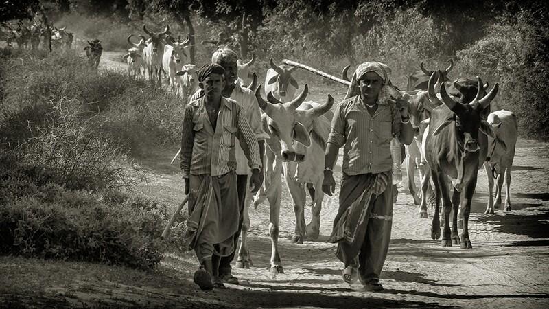 Cow Herders Little Rann of Kutch 7486