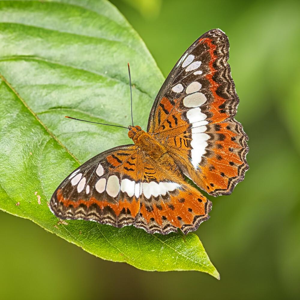 Commander butterfly 1204