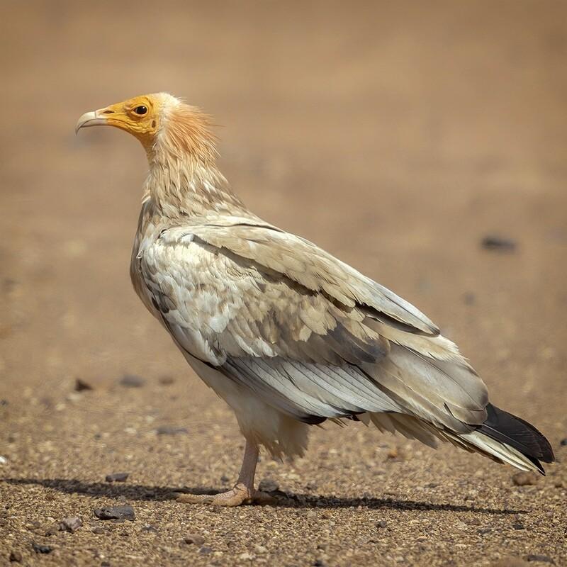 Egyptian vulture 7498
