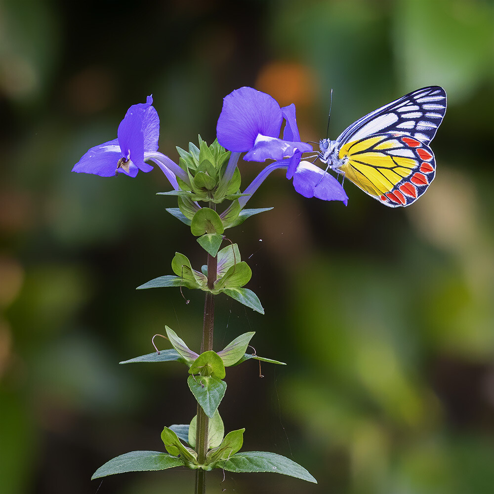 Common jezebel butterfly 4143