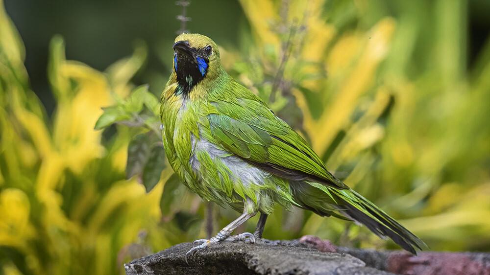 Jerdon's Leafbird 8052