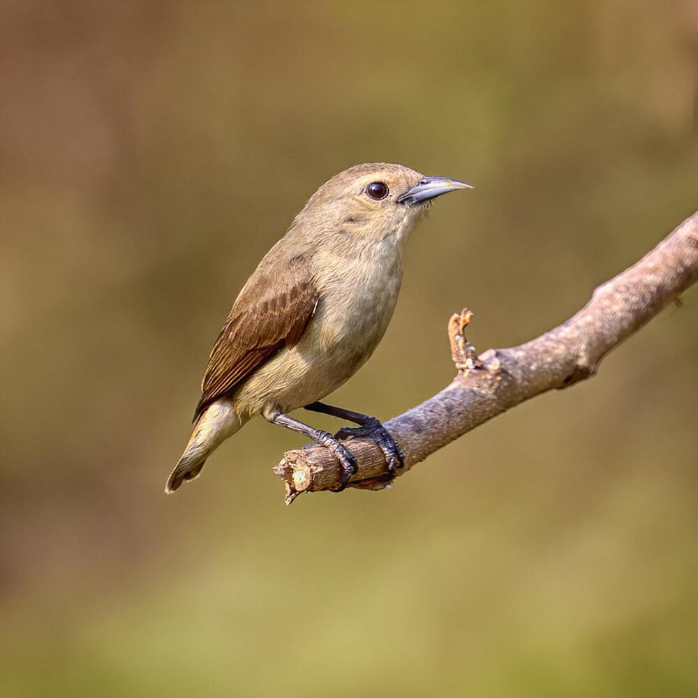 Nilgiri Flowerpecker 8185