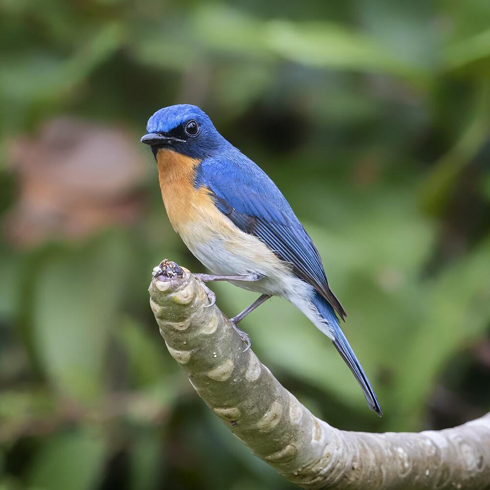 Tickell's Blue Flycatcher 7194