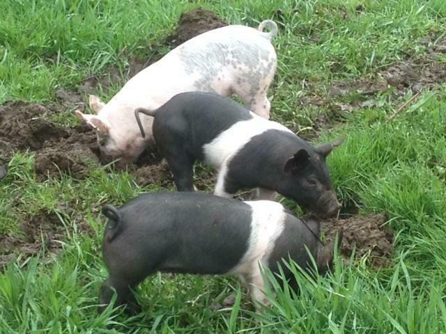 Simple Gifts Farm Pork Loin Roast (avg. 4.3 lb/each @ 11.25/lb))