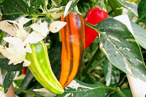 Ox And Robin Seeds- Fish Peppers