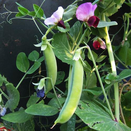 Ox And Robin Seeds- Dwarf Grey Sugar Peas