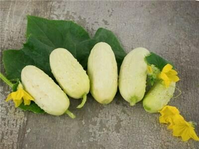 Ox And Robin Seeds- North Carolina Heirloom Pickling Cucumbers