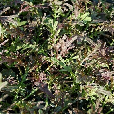 Ox And Robin Seeds- Ruby Streaks Mustard Greens