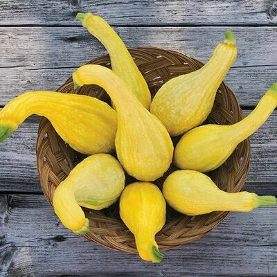 High Mowing SEEDS Yellow Crookneck Summer Squash