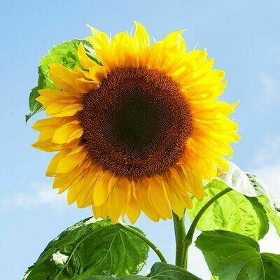 High Mowing SEEDS Mammoth Sunflower