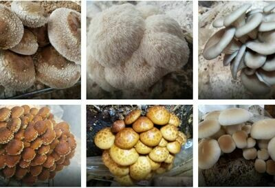 Mushrooms , Mycoterra Medley