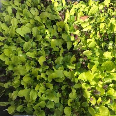 SGF Plant Starts - Salad Mix 6 Pk