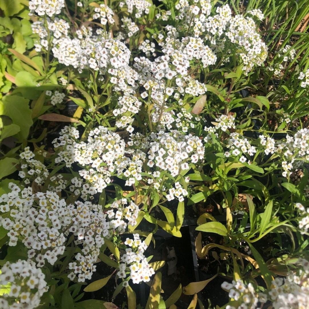 SGF Plant Starts - Allysium Flowers 6 Pk