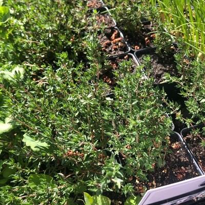 SGF Plant Starts - French Thyme 4