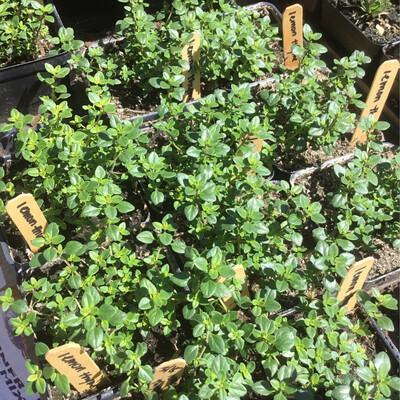 SGF Plant Starts - Lemon Thyme 4
