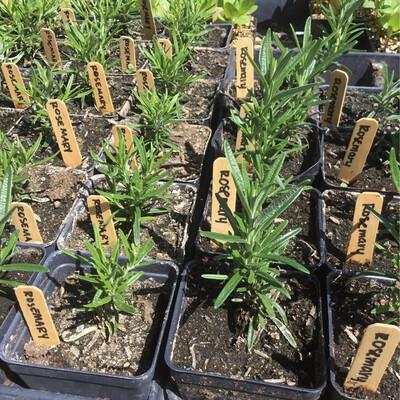 SGF Plant Starts - Rosemary 4