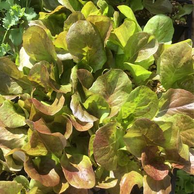 SGF Plant Starts - Roxy Lettuce 6 Pk