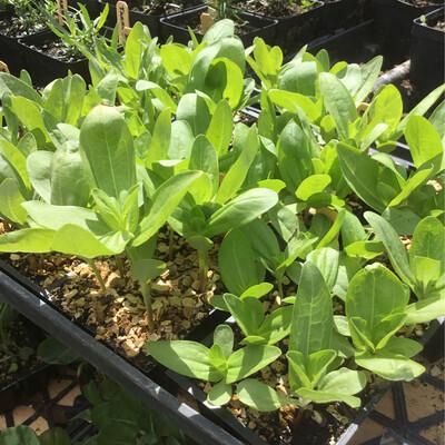 SGF Plant Starts - Zinnia Flowers 6 Pk