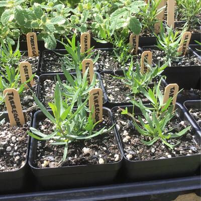 SGF Plant Starts - Tarragon (French) 4
