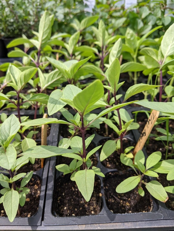 SGF Thai Basil Plant Start 6 pk