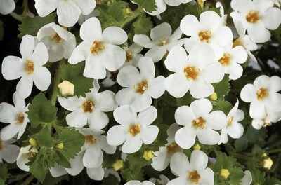 Bacopa Scopia Gulliver Dynamic White