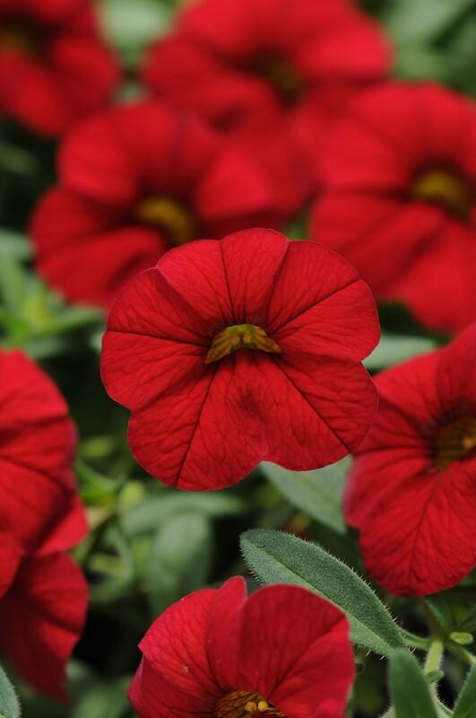 Calibrachoa Cabaret Red Bright