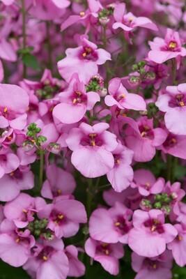 Diascia Diamond Pink