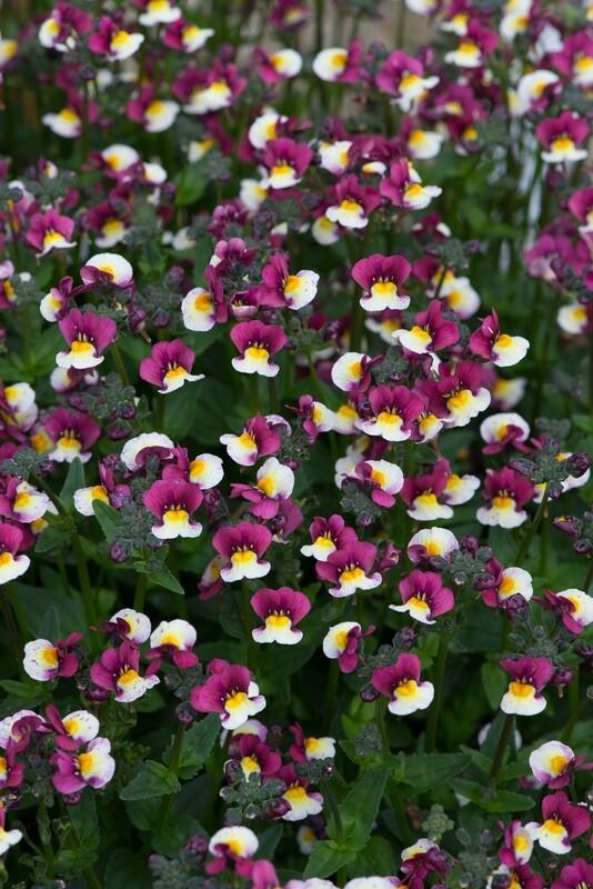 Nemesia Sundae Raspberry Cream AVAILABLE FROM APRIL