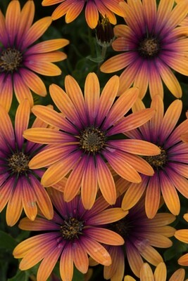 Osteospermum Flower Power Purple Sun