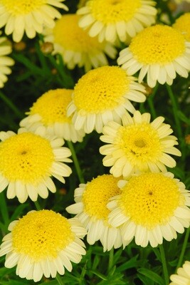 Argyranthemum Madeira Crested Yellow