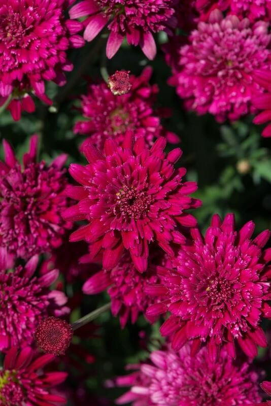 Argyranthemum Madeira Double Red
