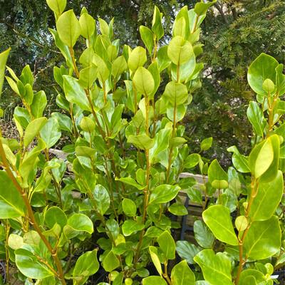 Griselinia Littoralis Green Horizon